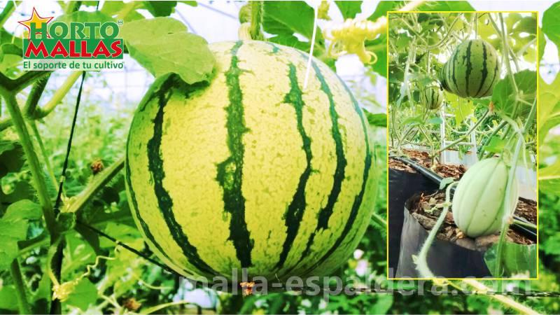 Frutos de sandia organica