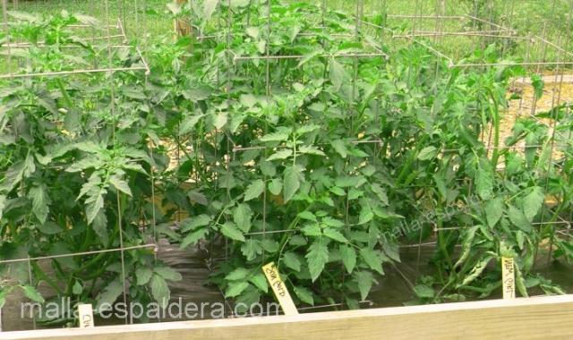 Malla espaldera en cultivo de tomate.